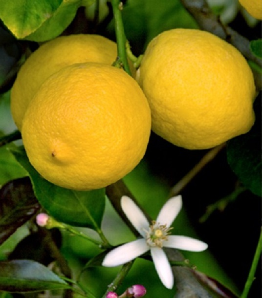 limone di siracusa
